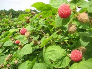 Raspberries at Mountain Meadows Farm